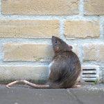 Le danger que représentent les rats dans une habitation